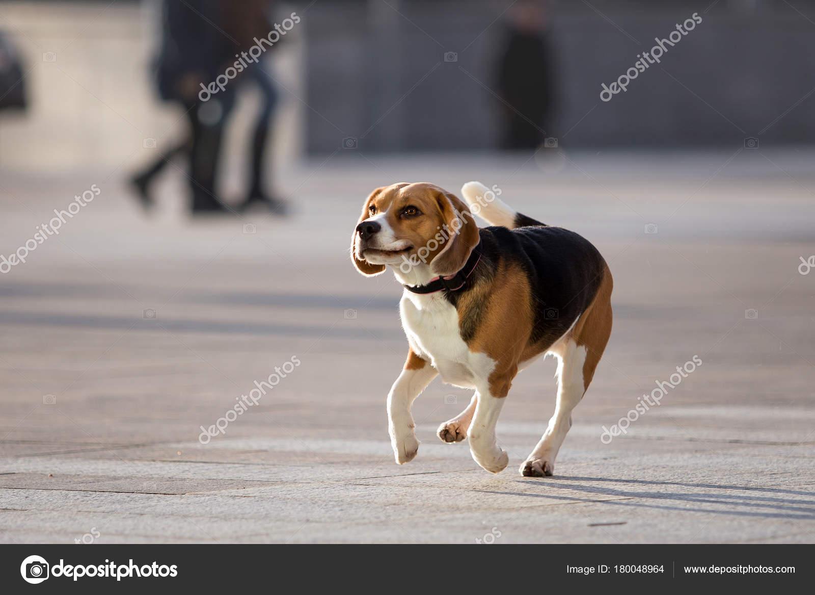 Beautiful Dog Beagle Breed Stock Photo Marrykolesnikf Gmail Com
