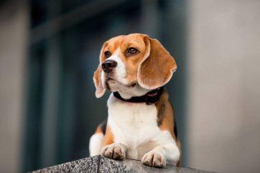 Beautiful dog of the Beagle breed