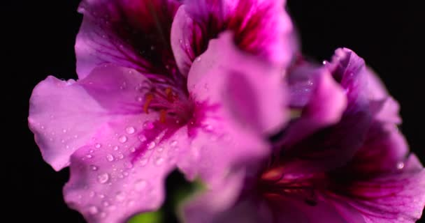 Rosafarbene Pelargonien blühen unter den Regentropfen isoliert auf schwarzem Hintergrund.