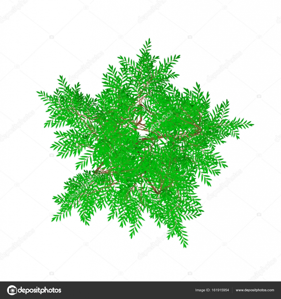Aralia tree  Isolated on white background  Top view  — Stock Vector