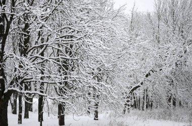 Kış manzara sonra ağır bir kar yağışı ıslak bir parkta karla kaplı. Kar kalın bir tabaka ağaçların dalları üzerinde yatıyor