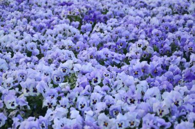 Close up blue and violet pansies in the garden. Seasonal natural photo