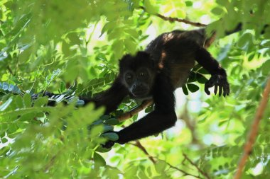Close up of a Baby Howler Monkey up a Tree in the Jungle