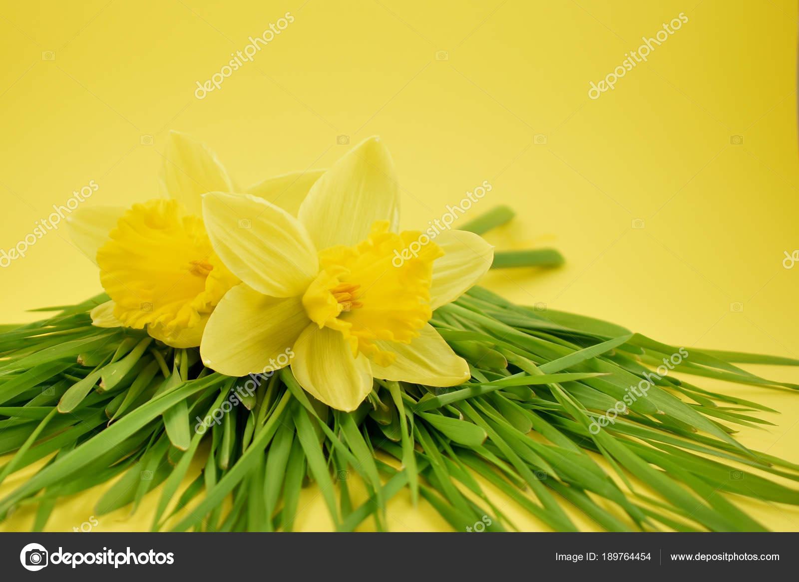 Imagenes Stock Narcisos Amarillos Narcisos Amarillos Cesped Sobre - Narcisos-amarillos