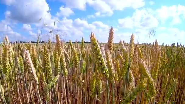 Pšeničné pole hladil vítr jeřáb zastřelených přírodní pozadí zdraví koncept Hd
