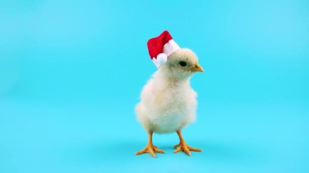 Carina giovane gallo in cappello rosso di Babbo Natale, simbolo del nuovo anno 2017, pronto per essere immesso