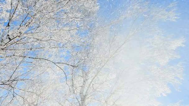 Snow falls from trees in a birch forest covered with hoarfrost. Slow motion of falling snow.