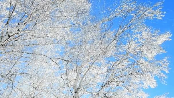 Sníh padá ze stromů v břízovém lese pokrytém chraplavým mrazem. Zpomalený pohyb padajícího sněhu.