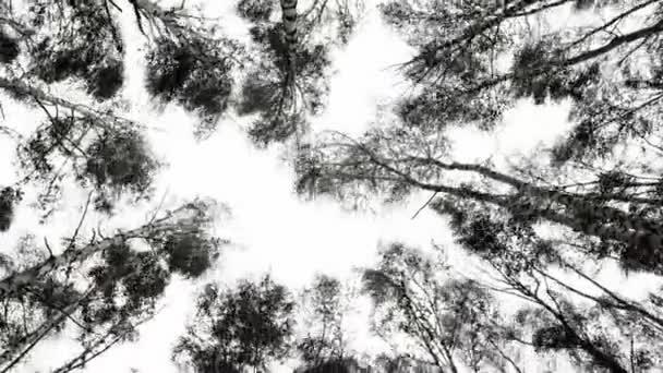 Vrcholky břízy se houpají od silného větru. Stromy proti obloze, spodní pohled. Hurikán v háji, špatné počasí. 4K černobílé video.