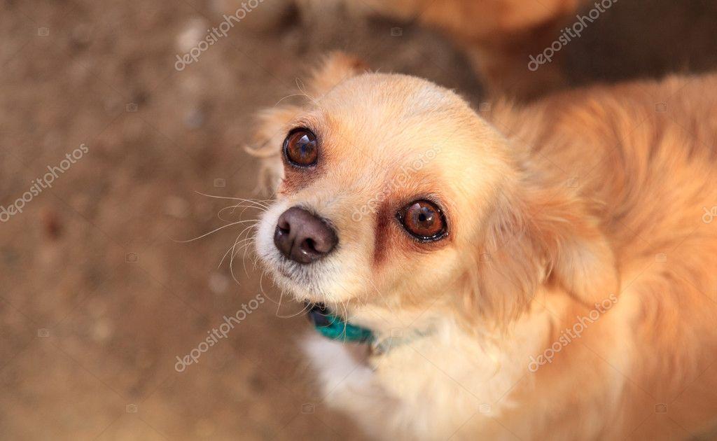 Psy Małe Mieszane Rasy Chihuahua Długowłosy Zdjęcie Stockowe