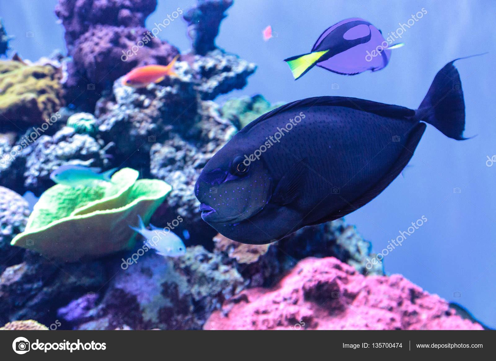 Bignose Unicornfish Naso Vlamingii Genannt Stockfoto