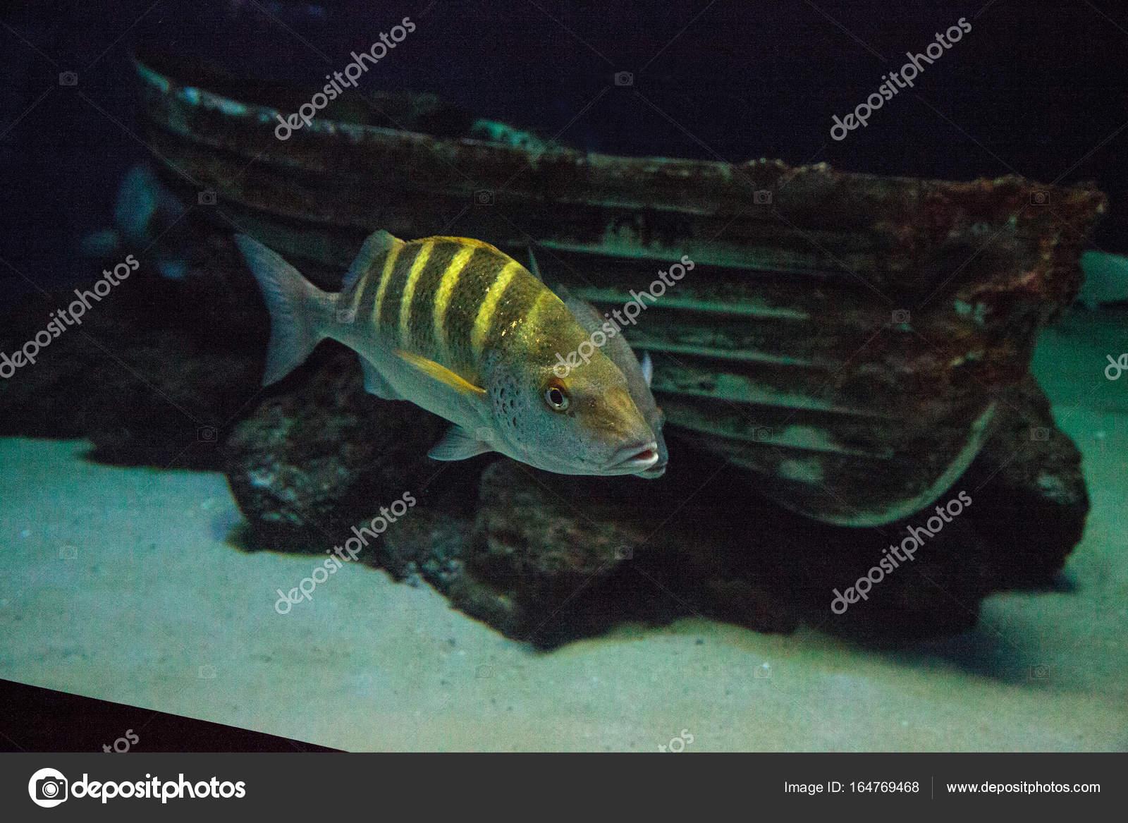 graybar grunt fish haemulon sexfasciatum stock photo