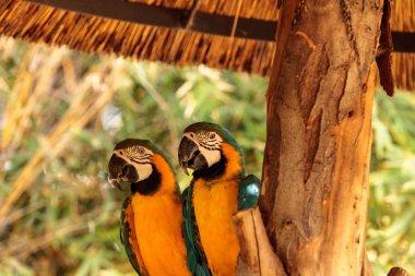 Blue and yellow Macaw bird called Ara ararauna