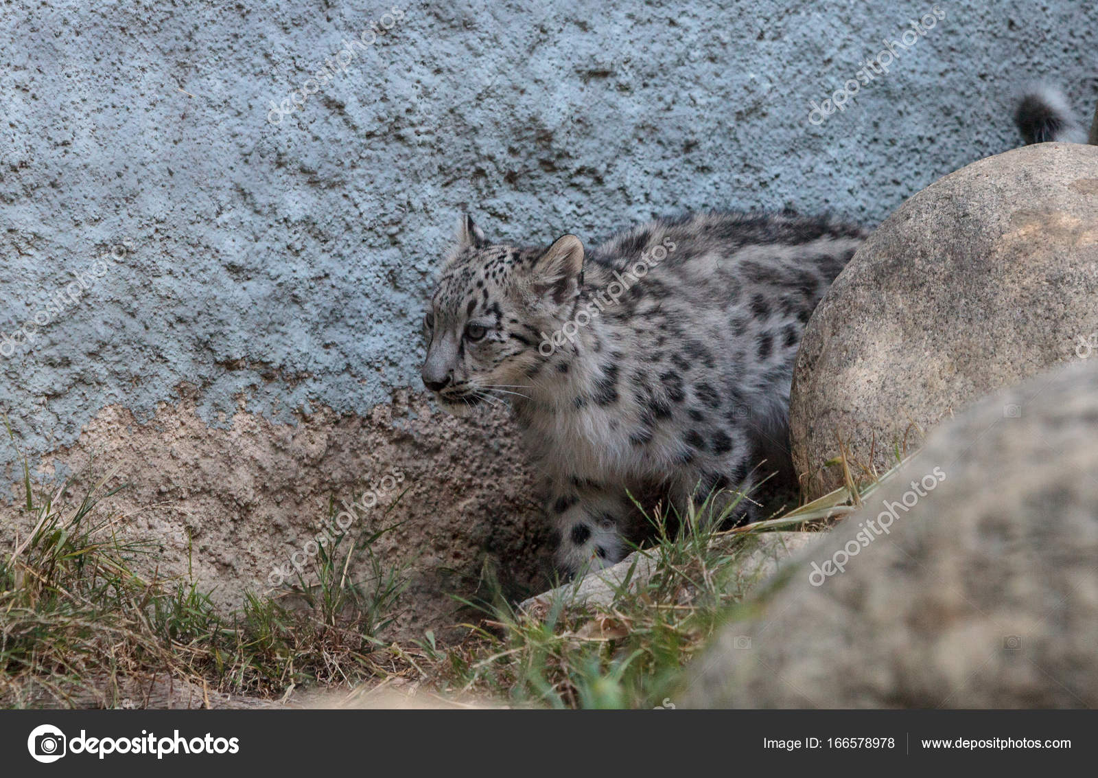 Snow leopard Panthera uncia — Stock Photo © stephstarr9363