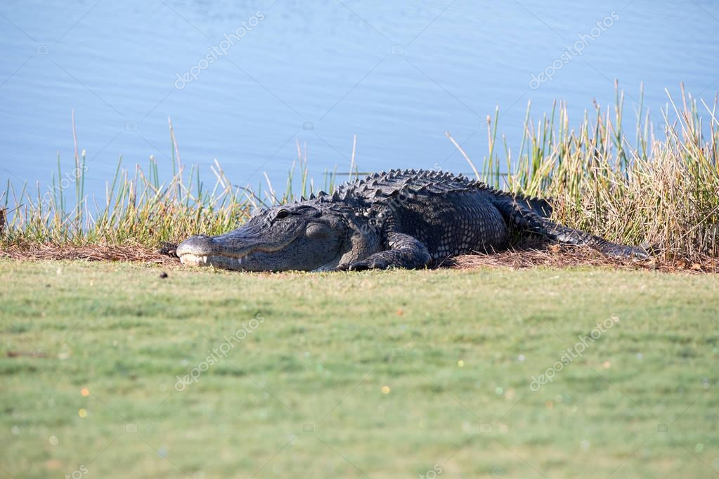 Very large American Alligator mississippiensis basking on the si
