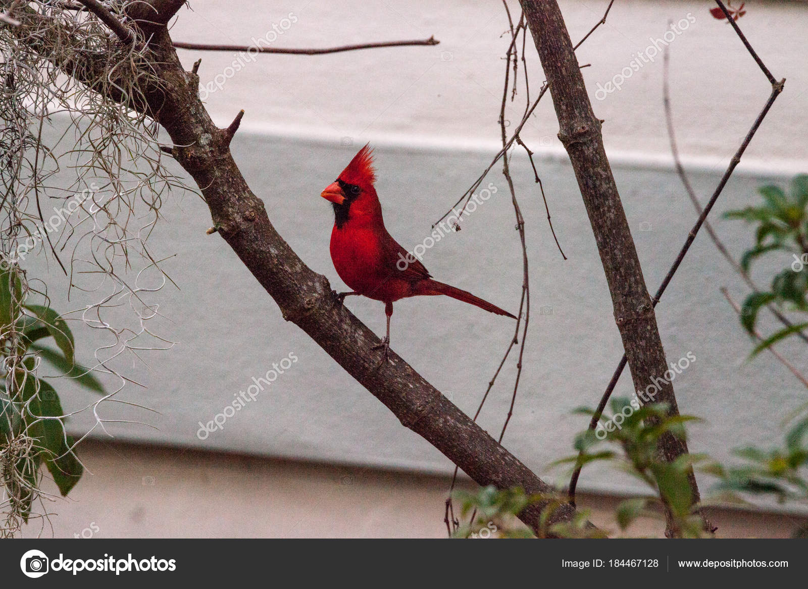 Ανδρικά πουλί εικόνες
