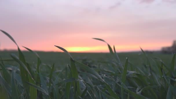 Pole zelené trávy při západu slunce