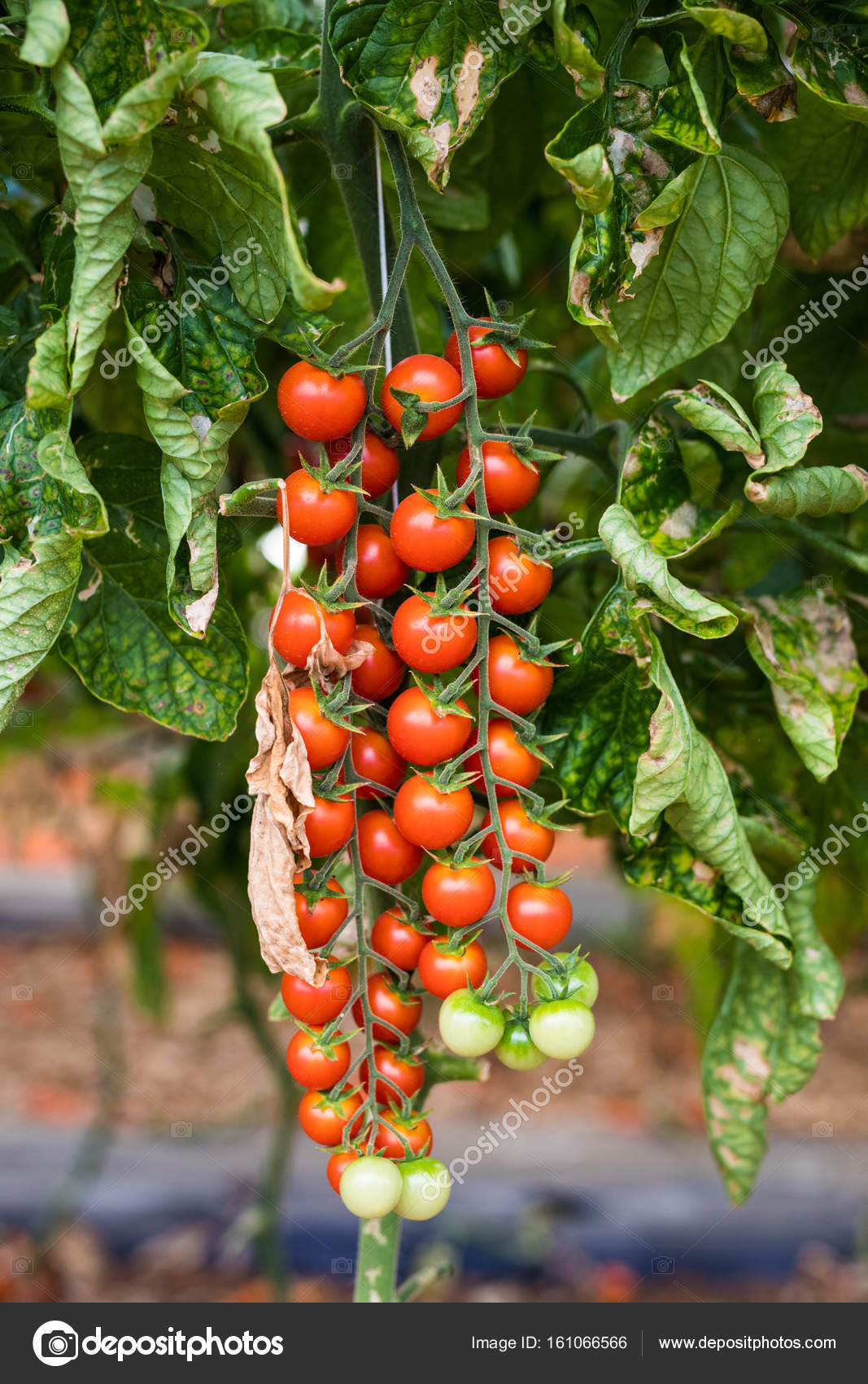 Branche de tomates-cerises fraîches accroché sur les ...