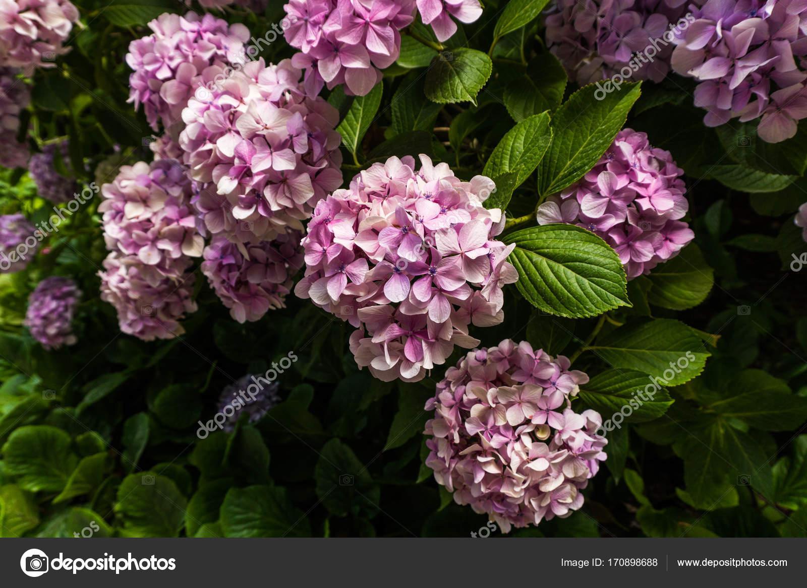 Great Bush Of Pink Flower Hydrangea Blooming In The Garden Stock