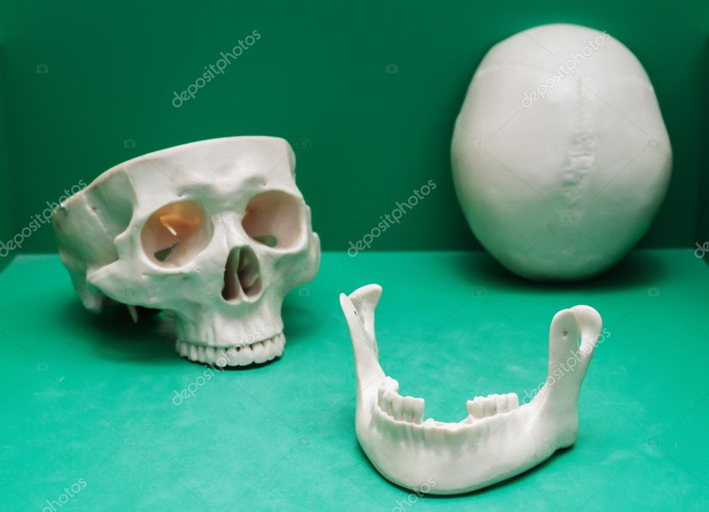Human Skull Box Jaw Frontal Bone Stock Photo Fotogray 125152492