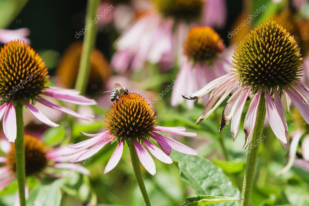 Echinacea medicinal plant.