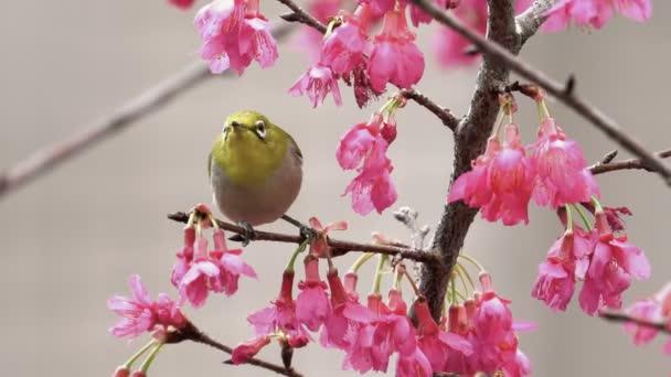 Japanese white-eye bird in Cherry blossoms