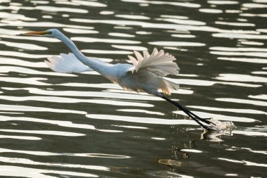 A Great Egret flying