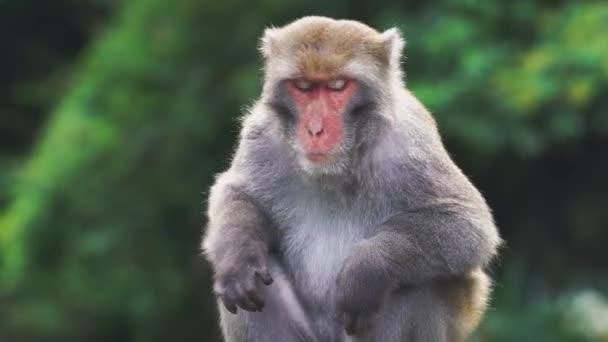 Divokých makaků rock Formosan sedí na vrcholu stromu, Tchaj-wan