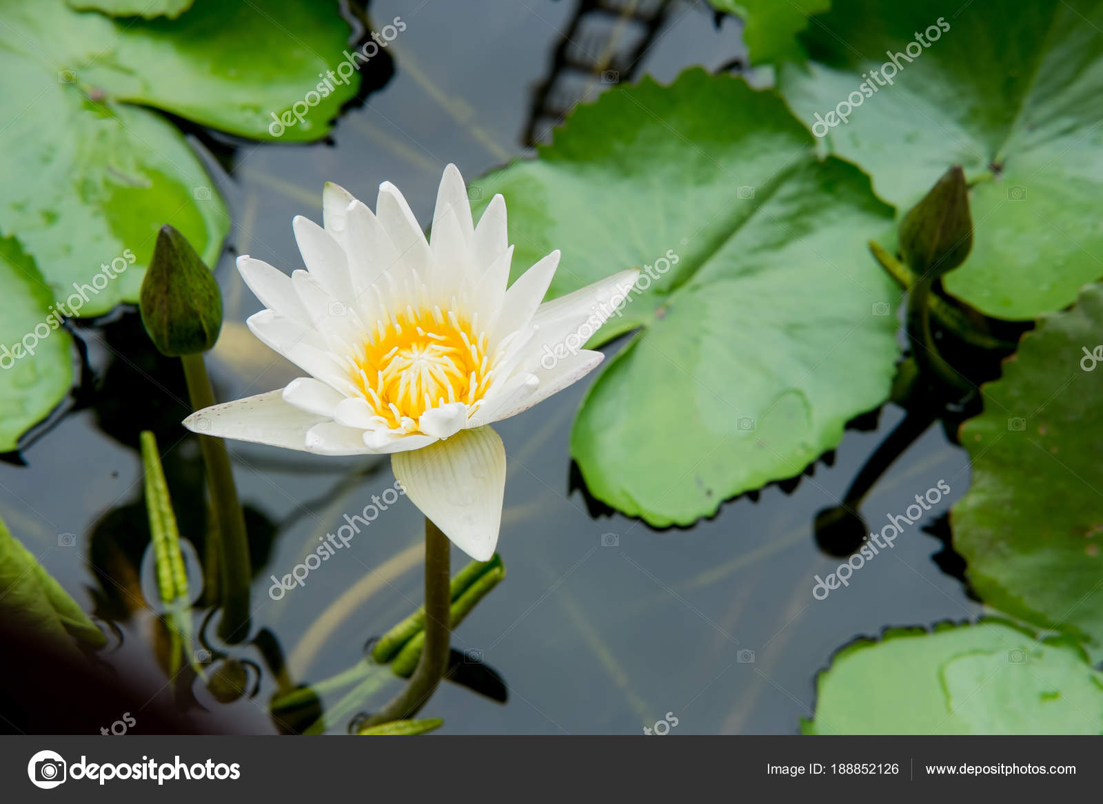 Lotus Flower Water Lily Floating Stock Photo Moomusician 188852126