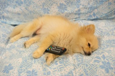 Cute pomeranian dog fall asleep holding television's remote controller, tired or boring tv program concept