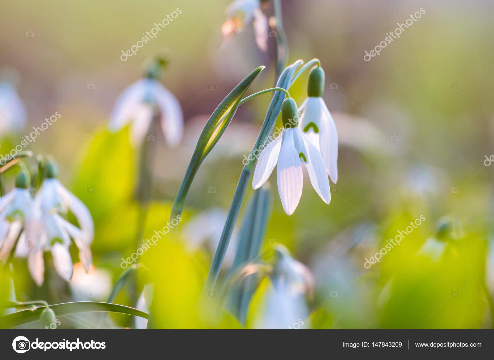 Snowdrop First Spring Flowers Wallpaper Stock Photo Denisvesely