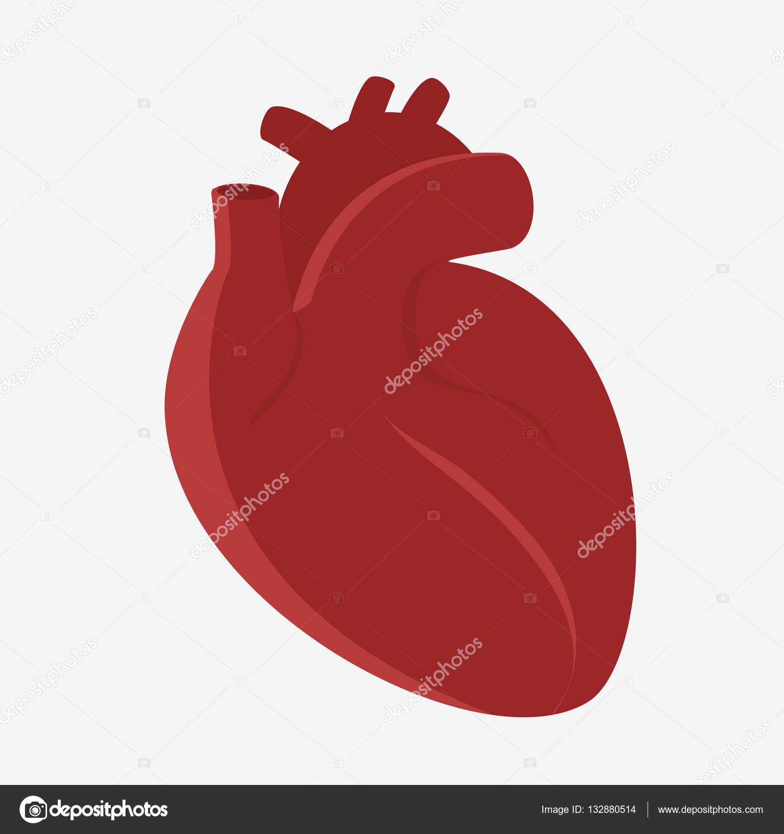 Anatomie des menschlichen Herzens — Stockvektor © hlivnyk.a.gmail ...