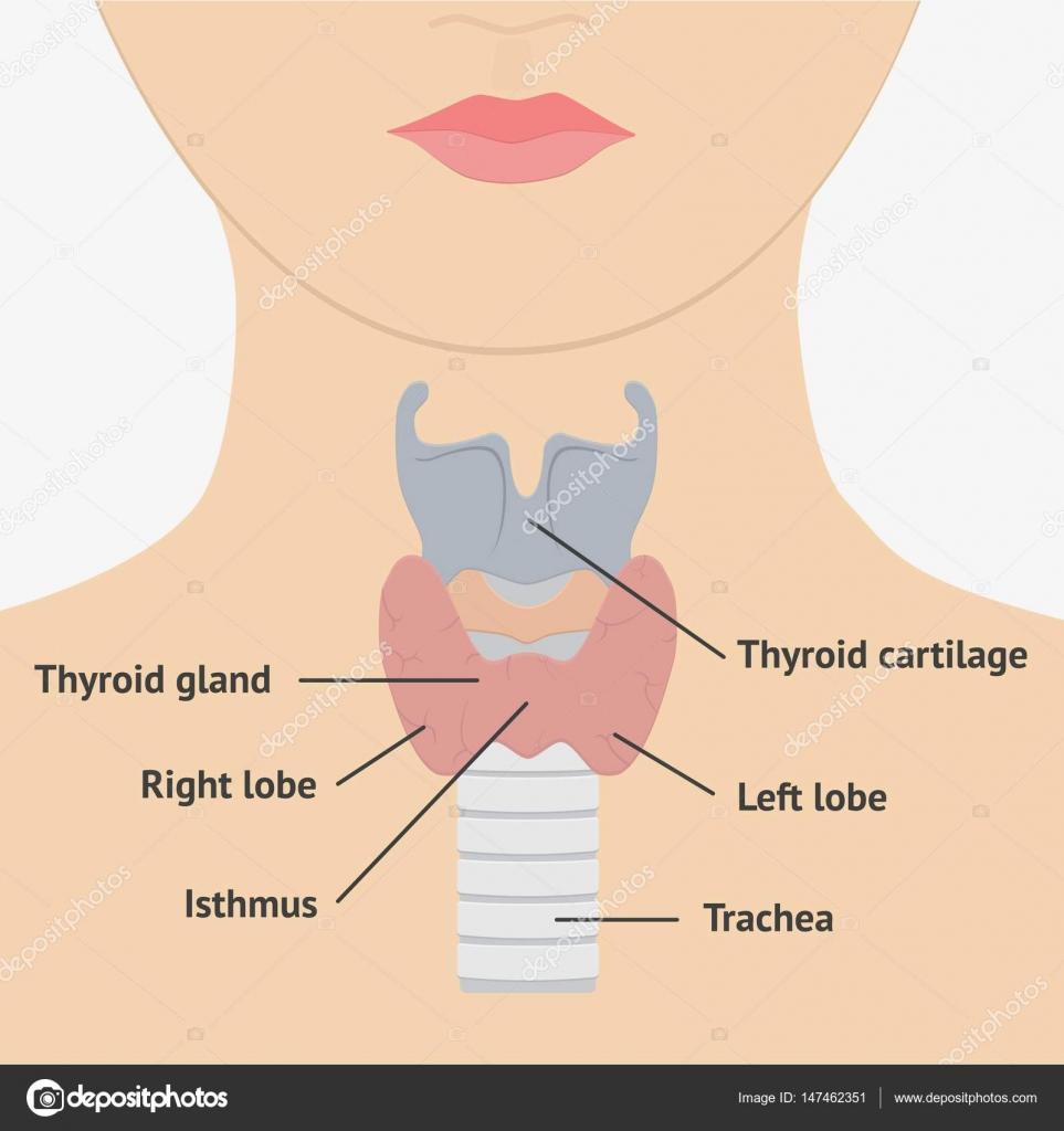Anatomía de la laringe humana — Archivo Imágenes Vectoriales ...