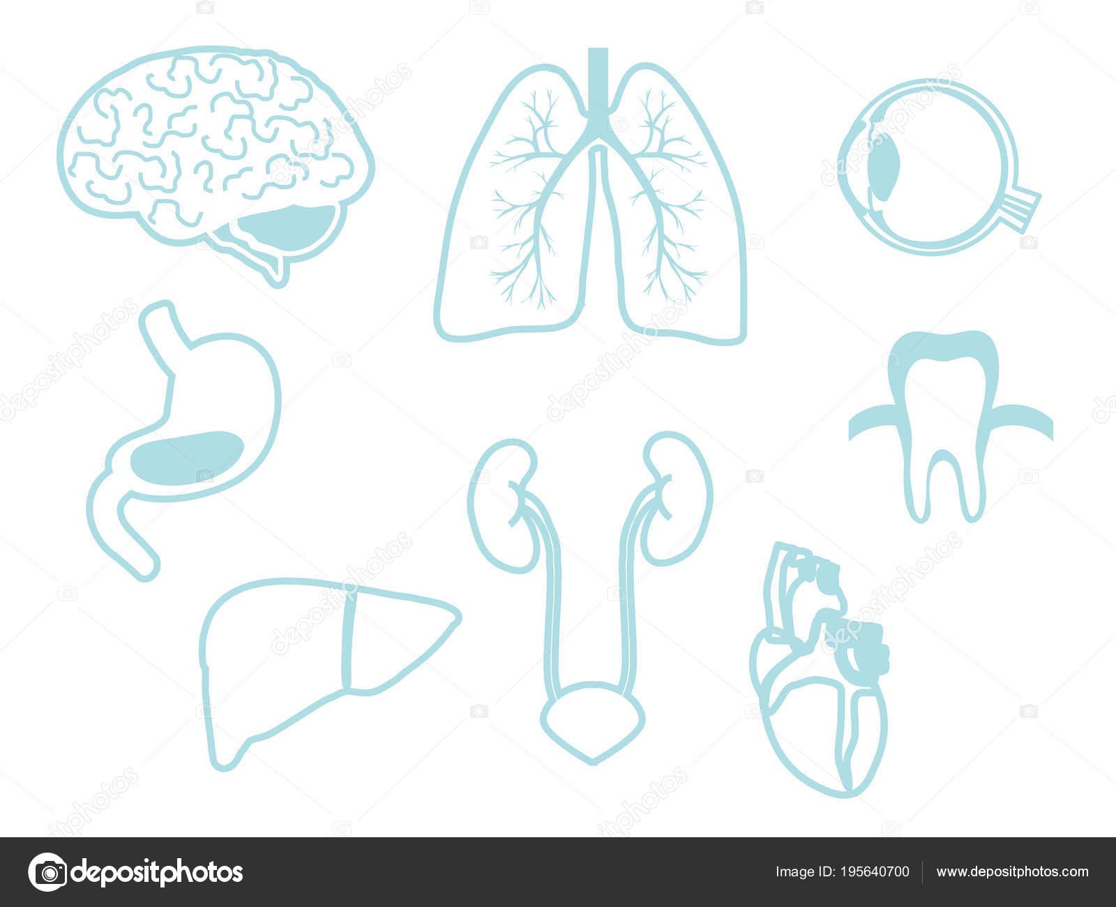 Collection internal organs man stock vector alinalil collection internal organs man stock vector ccuart Images