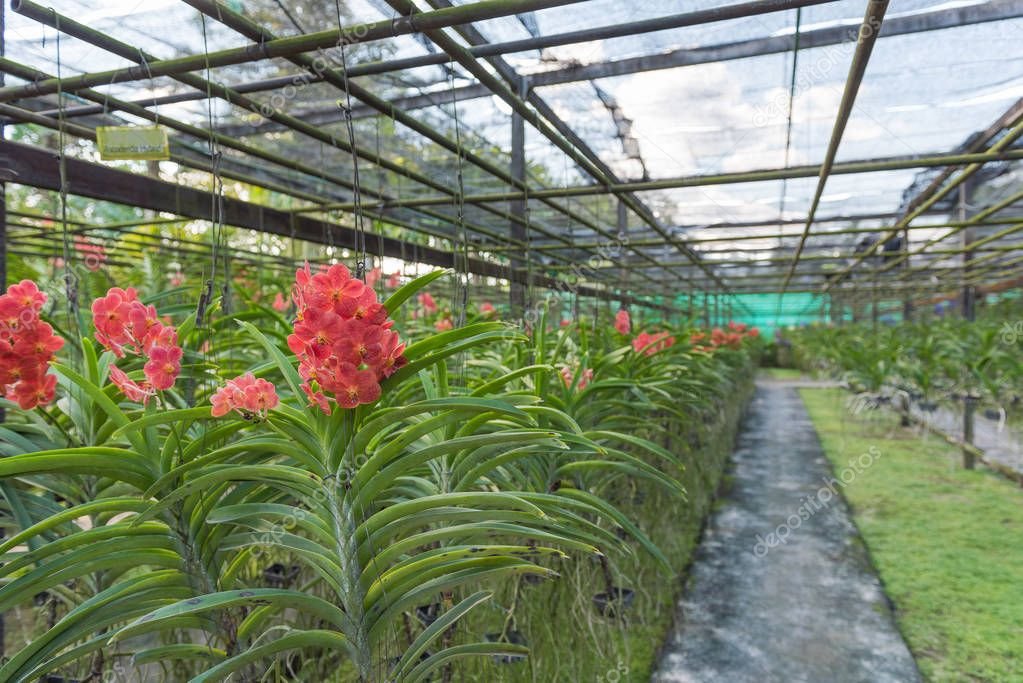 Red Orchid , Ascocenda hybrid orchid plant nursery in the farm.