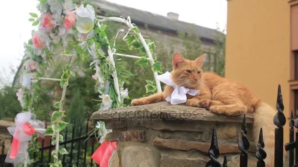 Nadýchané červená kočka s mašlí na krku leží na plotě poblíž svatební oblouk