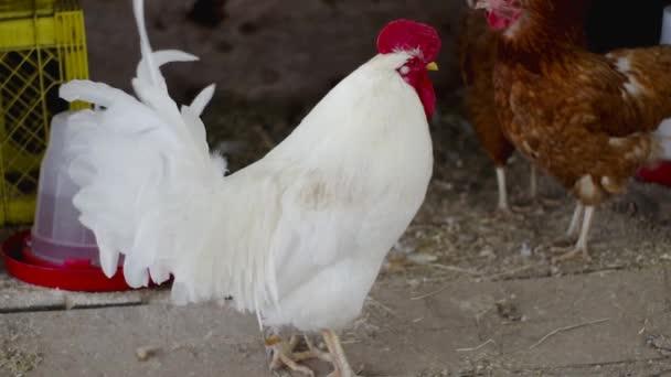 kohout bílý kuře červený hřeben peří zvířat pták zemědělství drůbeže