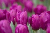 Tulipán v době květu Ukázat 2017