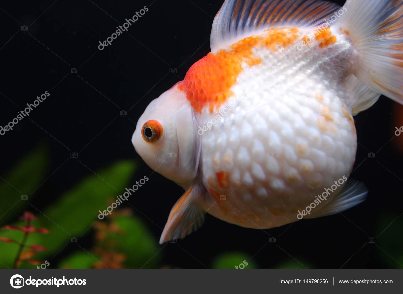 Los peces rojos y dorados en acuario — Foto de sameashk.yahoo.com.hk