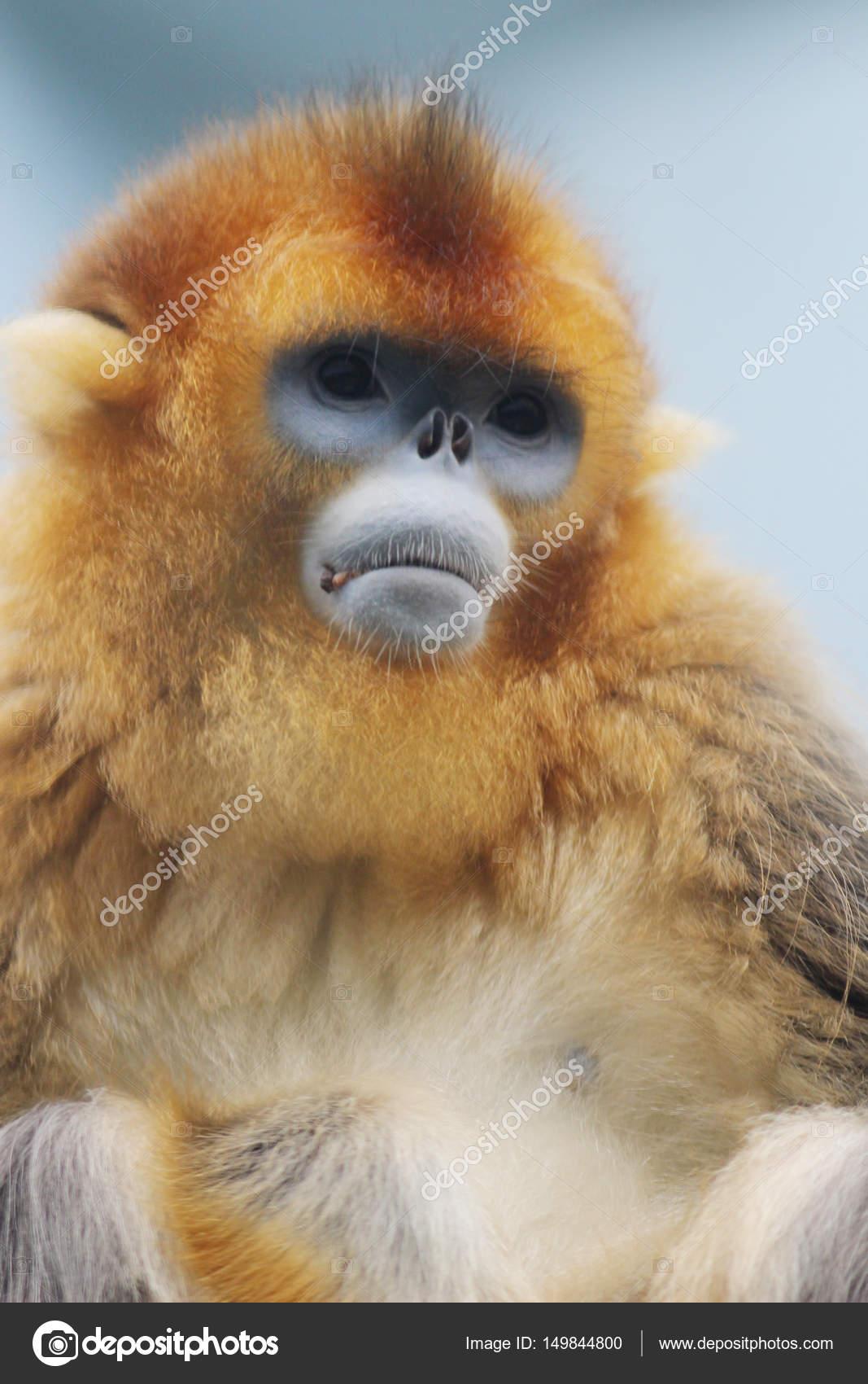 Cute golden snub nosed monkey dating