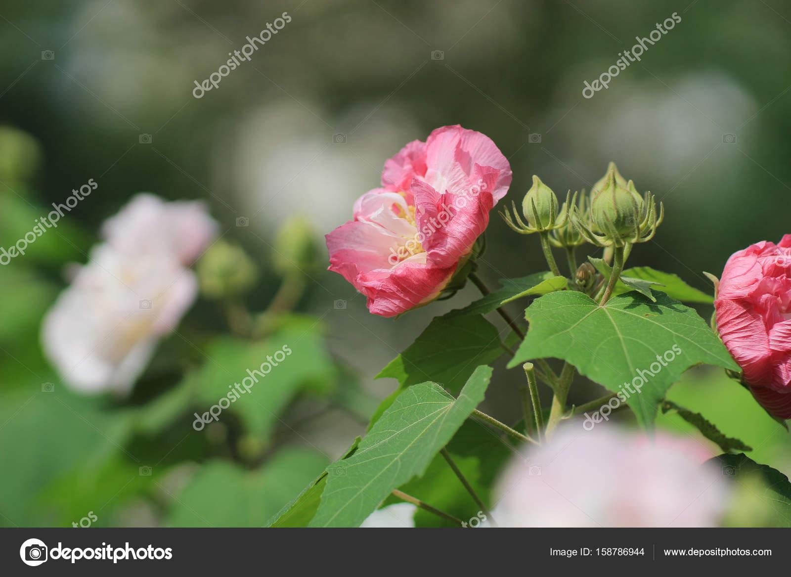 Autumn Flowers Series Pink Cotton Rose Stock Photo Sameashk