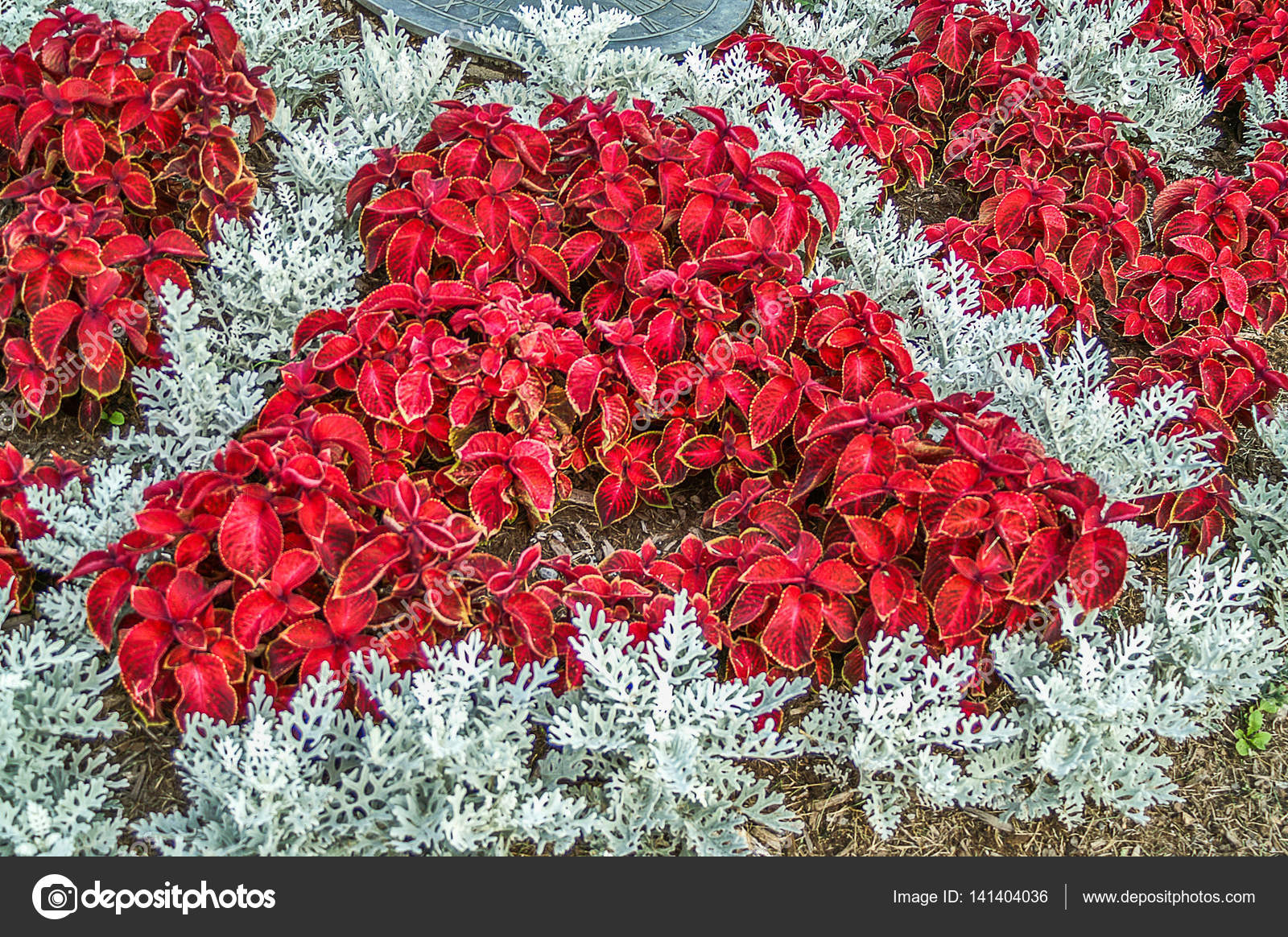 Red Coleus And Dusty Miller Plants Stock Photo Mtsue 141404036