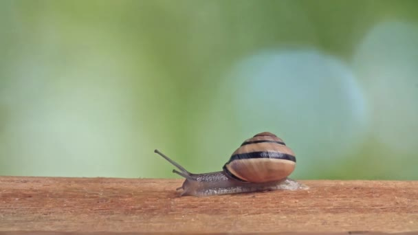 Medium Shot of a White Lipped Snail