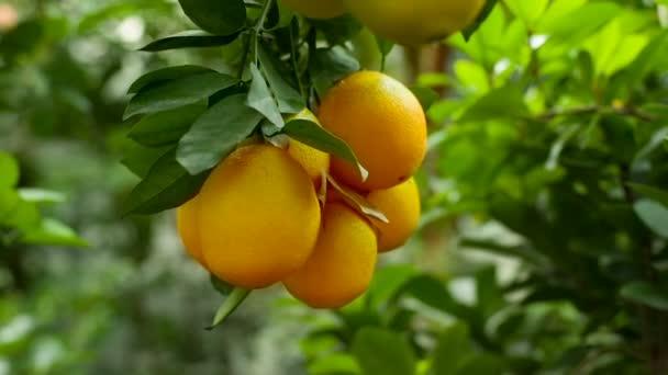Ripe oranges on a branch
