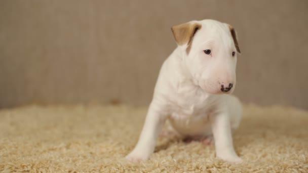 Bílé štěně bulteriéra