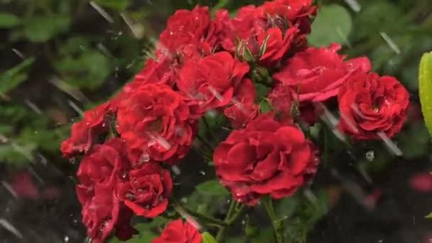 Kapky vody na růže