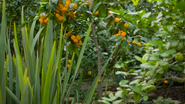 Tangerines on a tree at garden