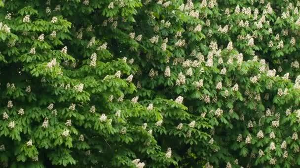 Kvetoucí větve kaštan