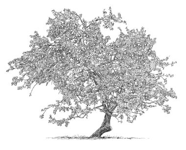 sketch of an old apple tree