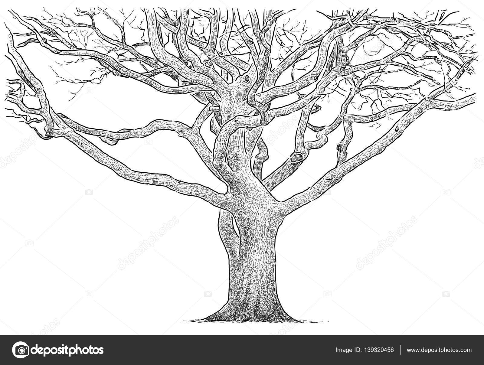 Sketch Of The Branches Of An Old Tree Stock Photo Image By C Mubaister Gmail Com 139320456